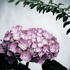 静・紫陽花