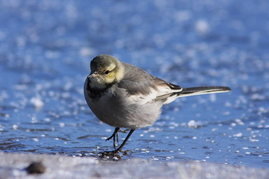 ハクセキレイ(幼鳥)
