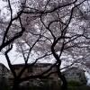 としまえんの桜2