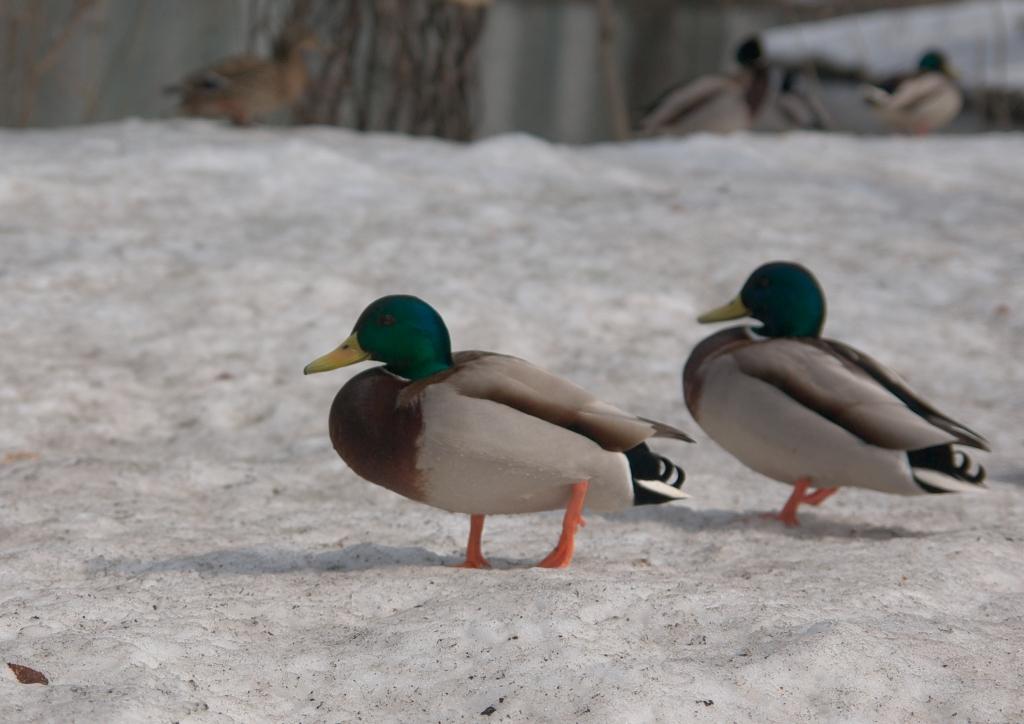 春を待つ鴨