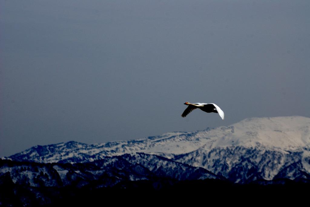 白鳥山を飛ぶ