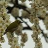 目白と枝垂れ梅