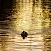 金色の池を往く