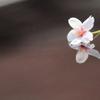 桜散る・・・しかし、なお美しい