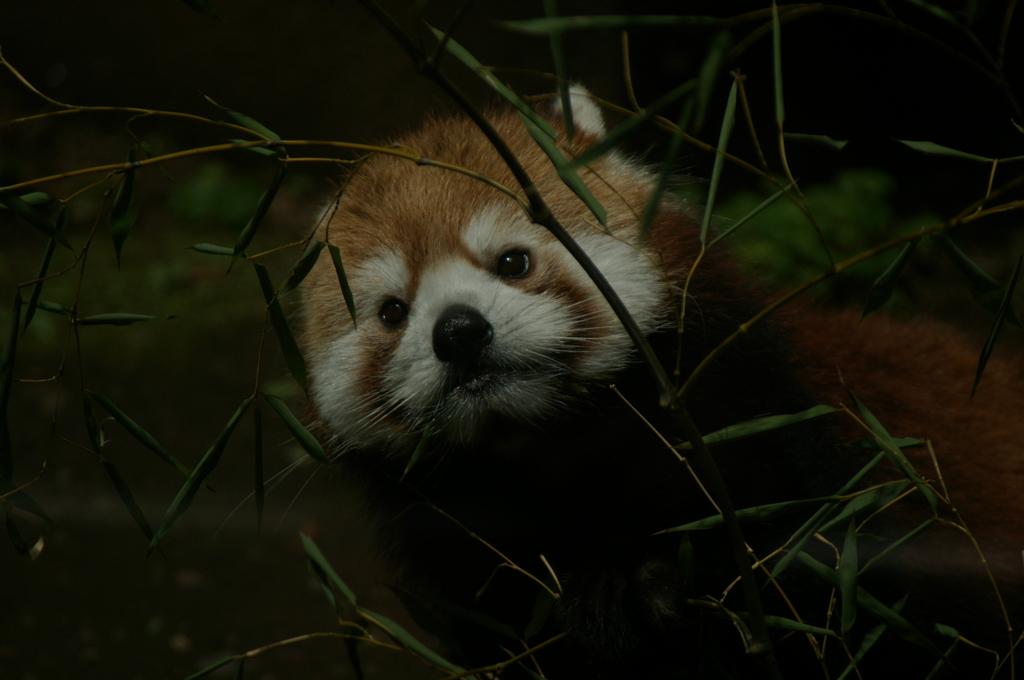 笹を食べるレッサーパンダ