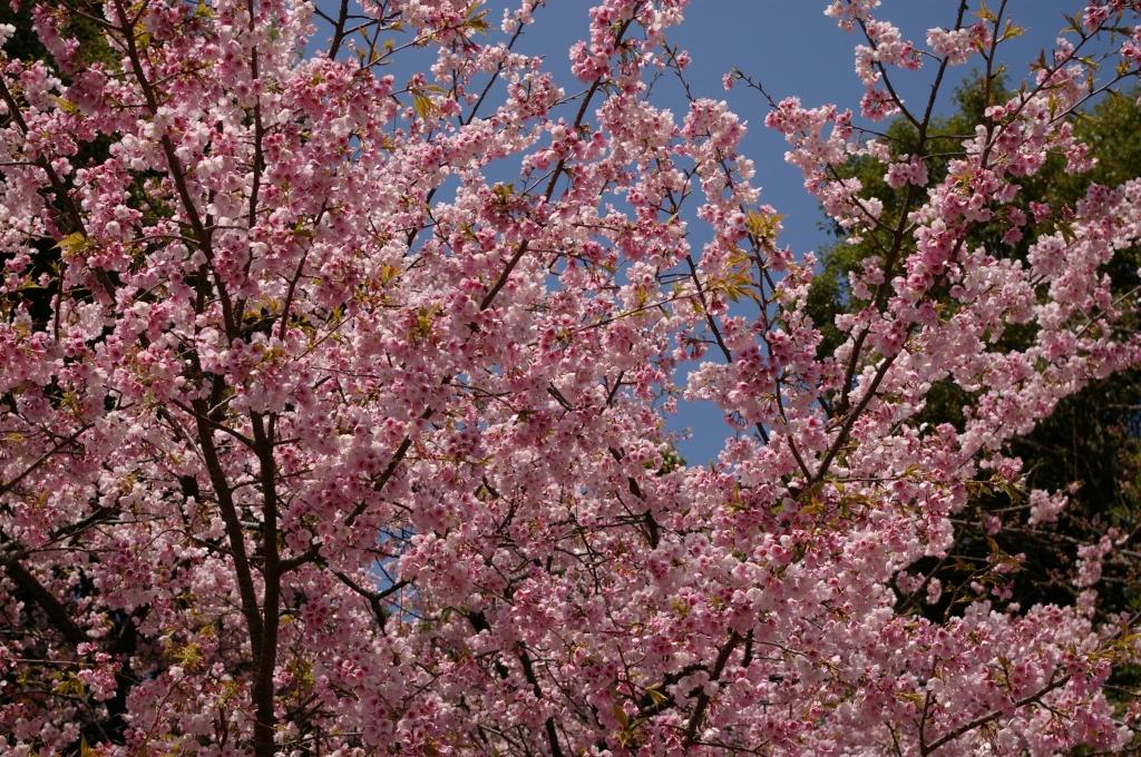 桜七分咲き