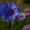 矢車草の花