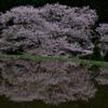 2016年の諸木野の桜