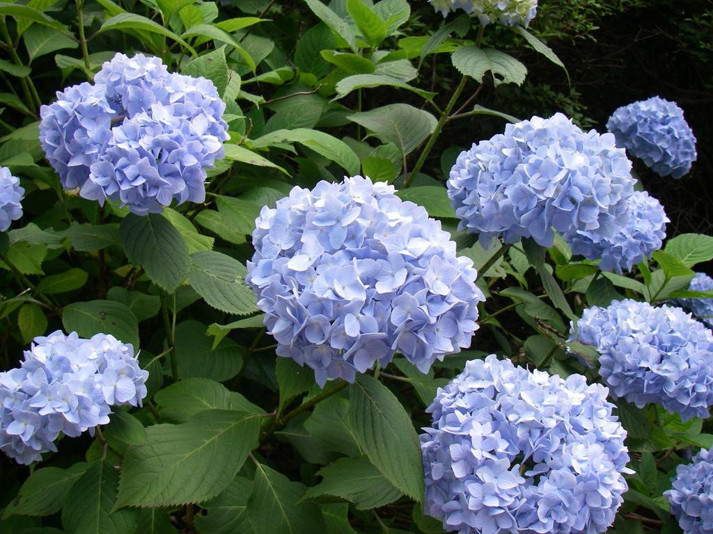 紫陽花(河口湖 カチカチ山)