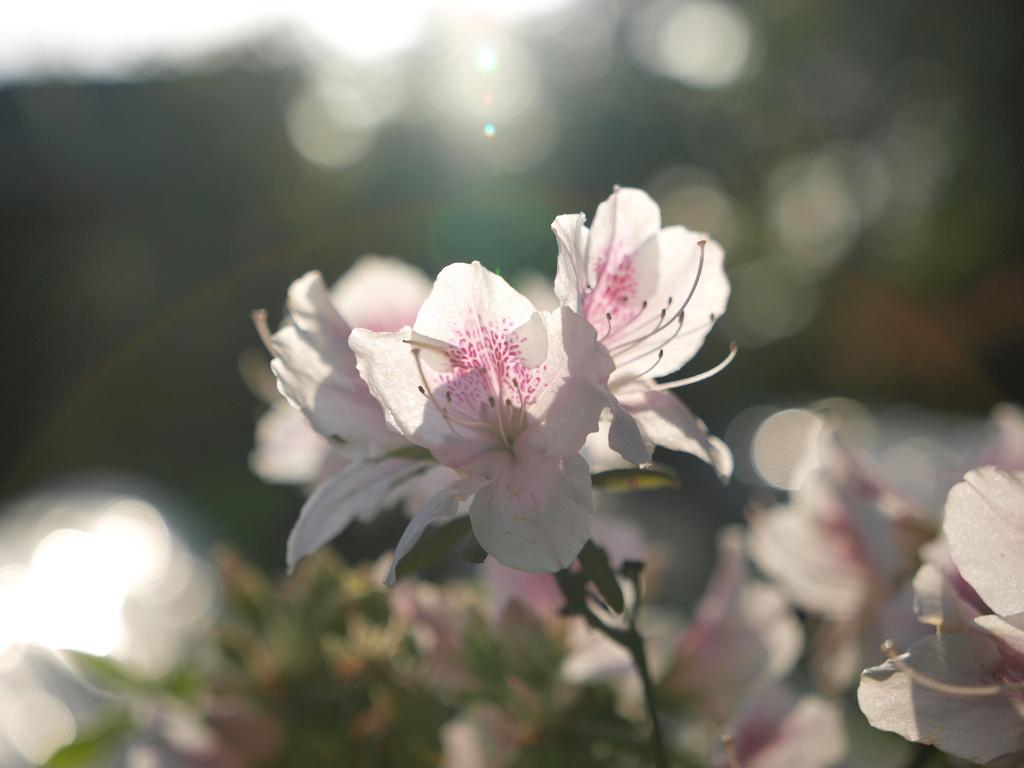 眩しいばかりの花びら