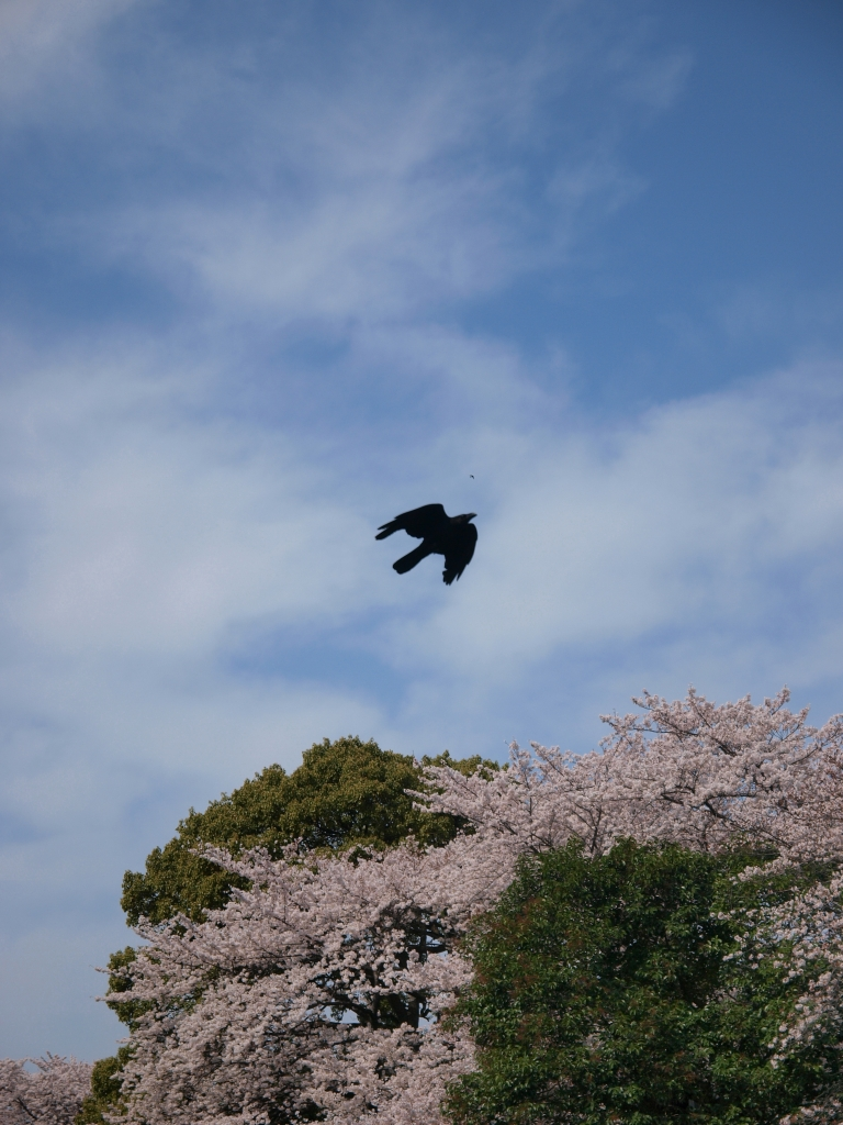 空を飛ぶ鳥と桜
