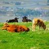 阿蘇の赤牛と黒毛和牛
