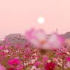 コスモス畑に沈む夕日