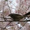 梅にウグイス、桜に・・・