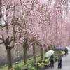 しっとり、まったり桜見物