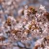 【orienta】桜