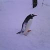 遊びすぎて羽に雪が