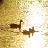 夕陽の野川