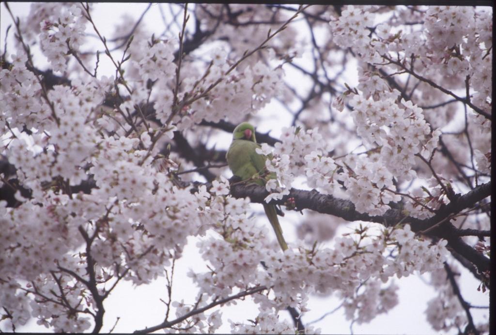 桜とオウム