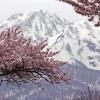 残雪山と桜