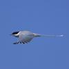 晴天にオナガ飛翔-2  羽を開いた時