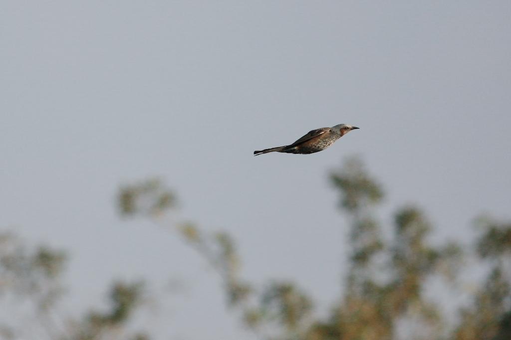 ヒヨドリの飛翔