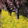 河津桜&菜の花