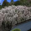 身延山 久遠寺の桜2