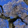 身延山 久遠寺の桜1
