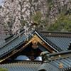 身延山 久遠寺の桜3