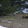 然別湖キャンプ場では初見のエゾライチョウ