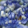 紫陽花 切り抜き