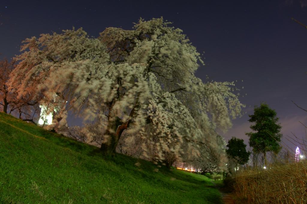夜桜 魚眼
