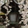 桜越しの灯篭
