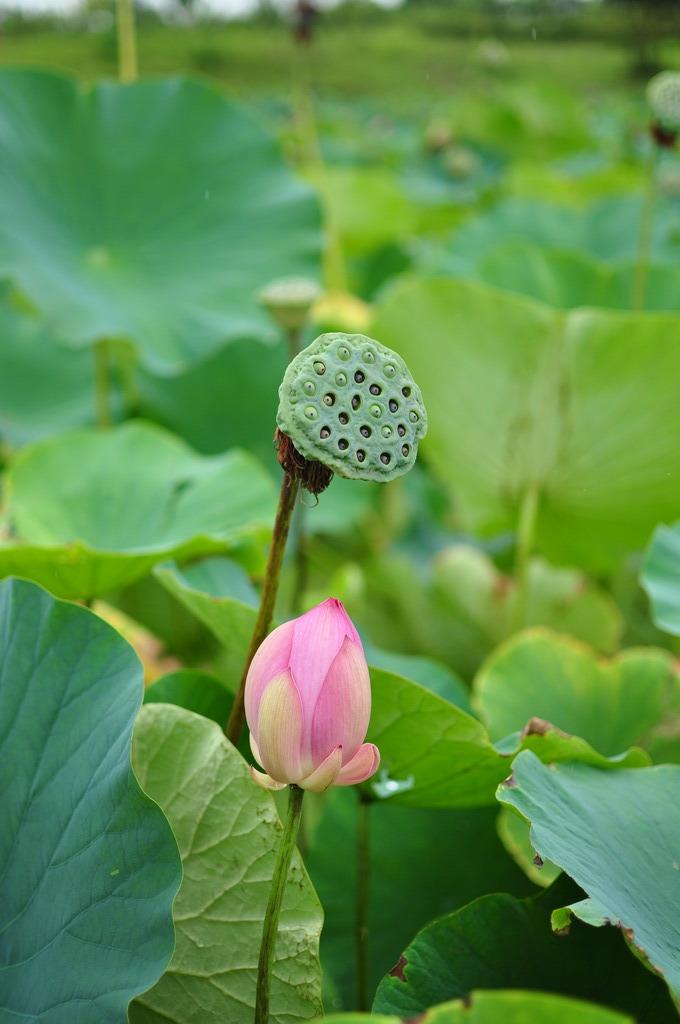 古代蓮の蕾と花芯