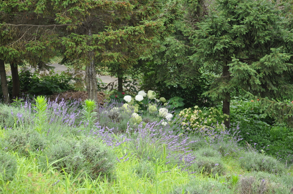 ラベンダーと紫陽花