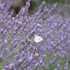 蜜蜂と紋白蝶