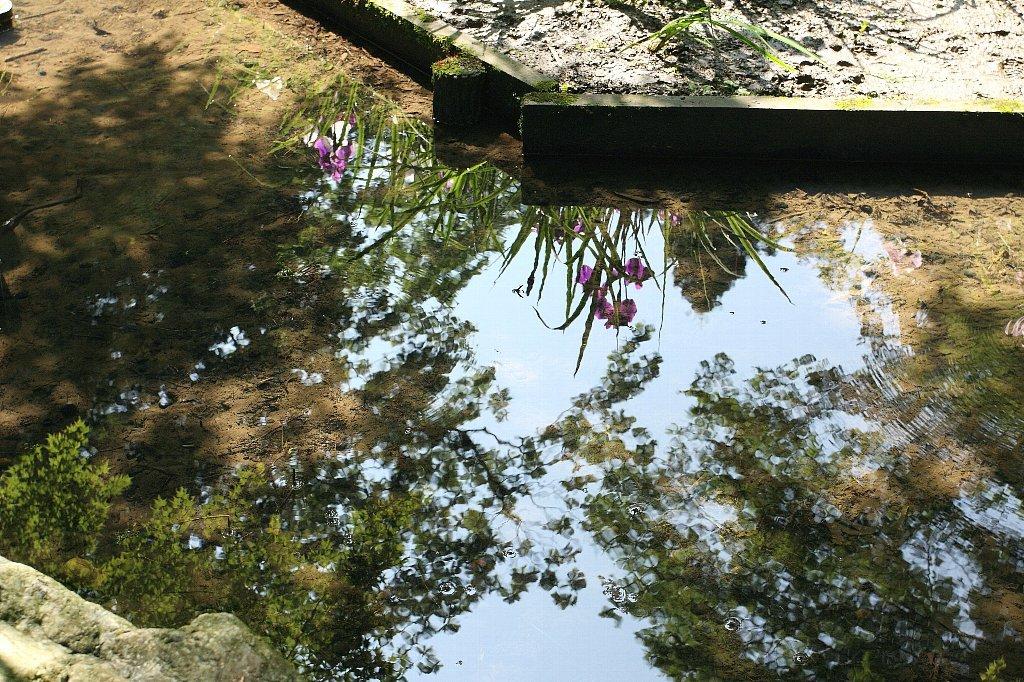2009.06.07 明月院 花菖蒲
