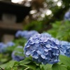 水無月の紫陽花(青)