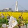 桜と菜の花と斜張橋