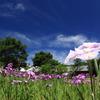 花菖蒲と青空