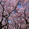 まんてんの桜