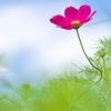 溜池土手に咲く秋桜(コスモス)3