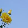 神戸須磨離宮公園のバラ5