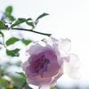 神戸須磨離宮公園のバラ1