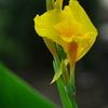 黄色いカンナ