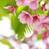 春爛漫4(河津桜)