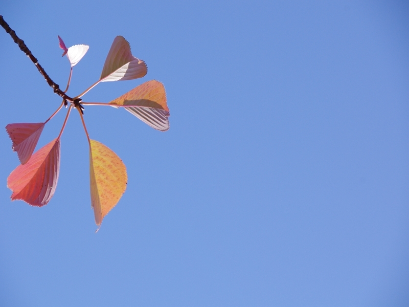 紅葉(桜)1