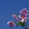神戸須磨離宮公園のピンクい花(ダリヤ)