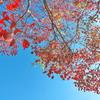 紅葉も見納め(ナンキンハゼ)